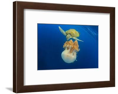 Green Sea Turtle Feeds on Large Pelagic Jellyfish-Rich Carey-Framed Photographic Print