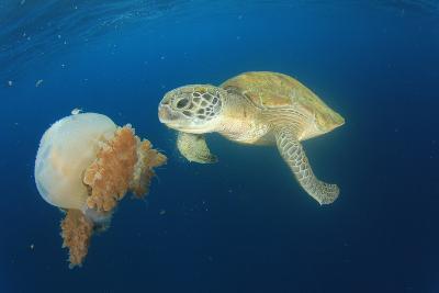 Green Sea Turtle Feeds on Large Pelagic Jellyfish-Rich Carey-Photographic Print