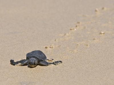 Green Sea Turtle Hatchling (Chelonia Mydas Agassizi), Galapagos Islands-Gerald & Buff Corsi-Photographic Print
