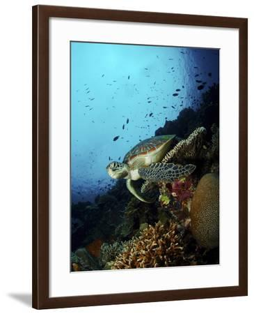 Green Sea Turtle Resting On a Plate Coral, North Sulawesi-Stocktrek Images-Framed Photographic Print
