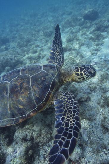 Green Sea Turtle Swimming in Ocean-DLILLC-Photographic Print