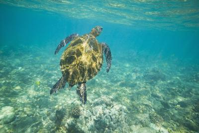 Green Sea Turtle Swimming in Shallow Water-DLILLC-Photographic Print