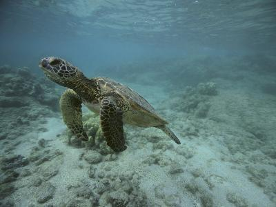 Green Sea Turtle Swimming-DLILLC-Photographic Print