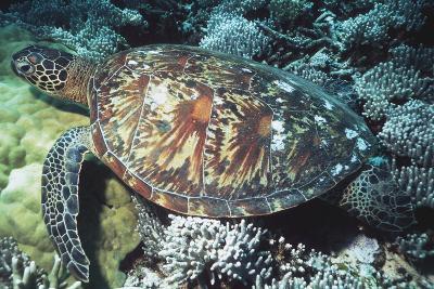 Green Sea Turtle-Georgette Douwma-Photographic Print