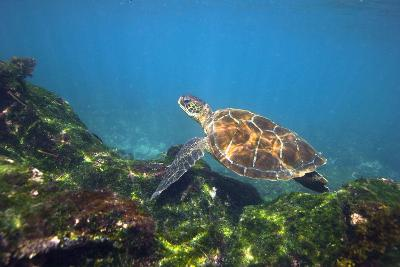 Green Sea Turtle-Peter Scoones-Photographic Print