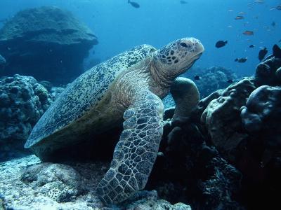 Green Sea Turtle--Photographic Print