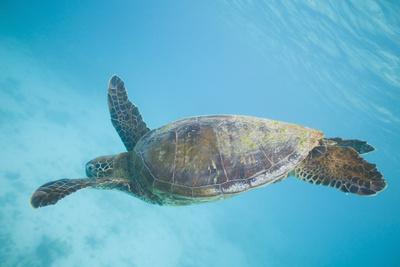 Green Sea Turtle-DLILLC-Photographic Print