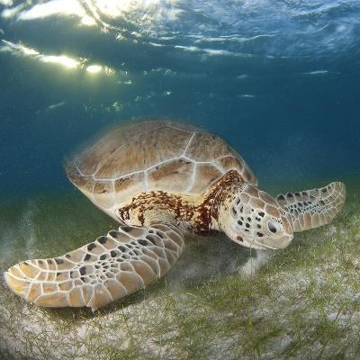 Green Sea Turtle-Luis Javier Sandoval-Photographic Print