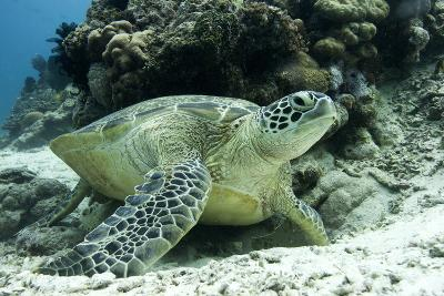 Green Sea Turtles (Chelonia Mydas) Common around Pom Pom Island-Louise Murray-Photographic Print