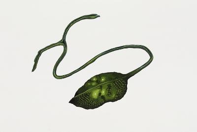 Green Spoonworm (Bonellia Viridis), Bonelliidae. Artwork by Rebecca Hardy--Giclee Print