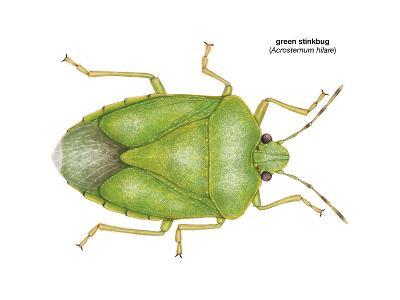 Green Stinkbug (Acrosternum Hilare), Insects-Encyclopaedia Britannica-Art Print