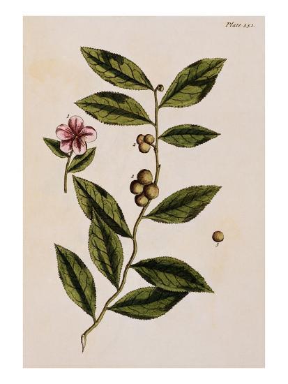 Green Tea-Elizabeth Blackwell-Giclee Print
