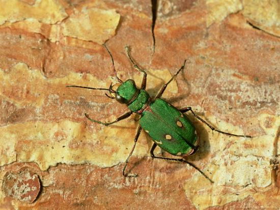 Green Tiger Beetle, Adult on Pine Bark, Scotland-Mark Hamblin-Photographic Print