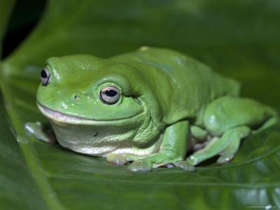 Green Tree Frog (Litoria Caerulea) on Leaf, Northern Territory, Australia-Steven David Miller-Photographic Print
