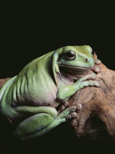 Green Tree Frog--Photographic Print