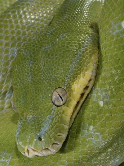 Green Tree Python, , Chondropython Viridis, Adult Specimen, Australia, New Guinea-Jim Merli-Photographic Print