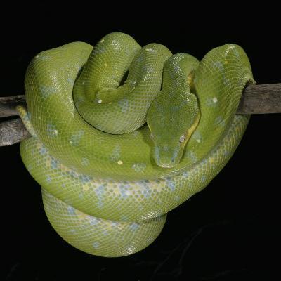 Green Tree Python, , Chondropython Viridis, Heat Sensory Pits, Australia, New Guinea-Jim Merli-Photographic Print