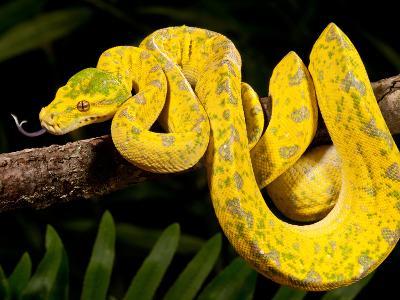 Green Tree Python, Morelia (Chondropython) Viridis, Native to New Guinea-David Northcott-Photographic Print