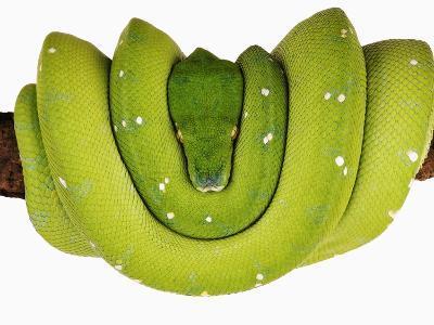 Green Tree Python-Martin Harvey-Photographic Print