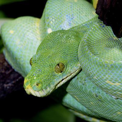 Green Tree Python--Photographic Print