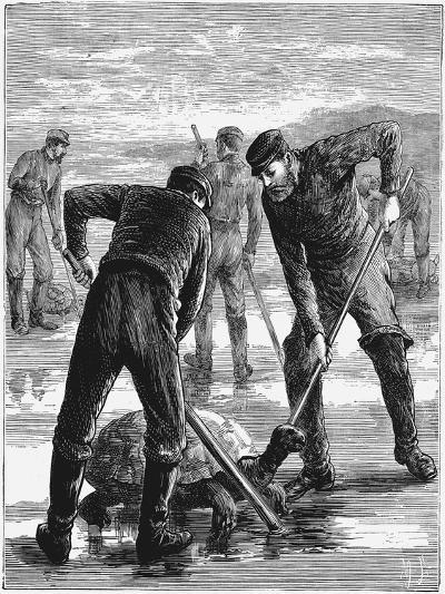 Green Turtle Being Caught by Hunters, C1900--Giclee Print