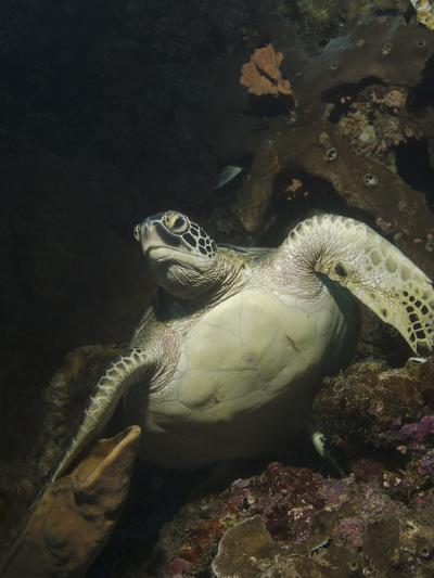 Green Turtle, Bunaken Marine Park, Indonesia-Stocktrek Images-Photographic Print