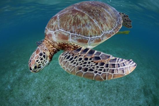 Green Turtle (Chelonia Mydas) Akumal, Caribbean Sea, Mexico, January. Endangered Species-Claudio Contreras-Photographic Print