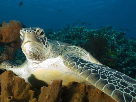 Green Turtle, Chelonia Mydas, at Rest in the Coral, Gili Islands-Paul Sutherland-Photographic Print