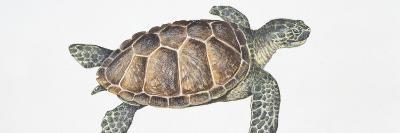 Green Turtle (Chelonia Mydas), Illustration--Photographic Print