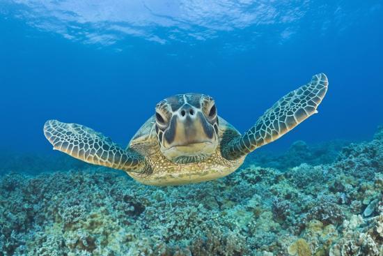 Green Turtle (Chelonia Mydas), Maui, Hawaii, USA-Reinhard Dirscherl-Photographic Print