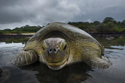 https://imgc.artprintimages.com/img/print/green-turtle-chelonia-mydas-returning-to-sea-bissagos-islands-guinea-bissau_u-l-q11q0520.jpg?p=0