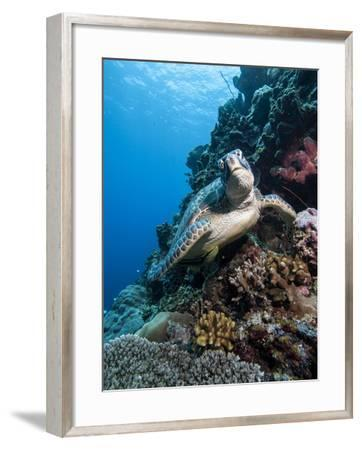 Green Turtle (Chelonia Mydas), Sulawesi, Indonesia, Southeast Asia, Asia-Lisa Collins-Framed Photographic Print