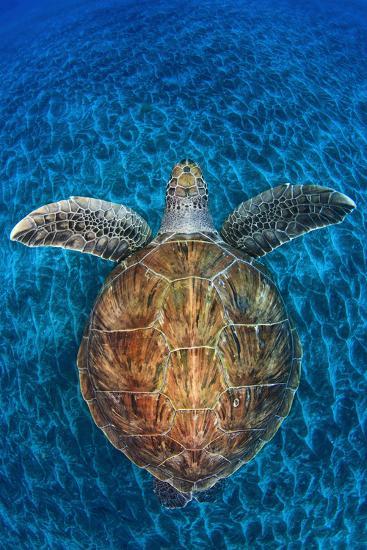 Green Turtle, (Chelonia Mydas), Swimming over Volcanic Sandy Bottom, Armenime Cove, Canary Islands-Jordi Chias-Photographic Print