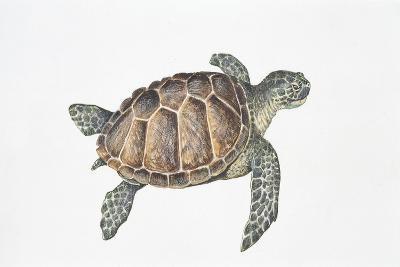 Green Turtle (Chelonia Mydas)--Giclee Print