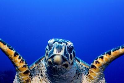https://imgc.artprintimages.com/img/print/green-turtle-chelonia-mydas_u-l-pzq3nn0.jpg?p=0
