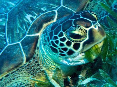 Green Turtle Feeding in Sea Grass Beds, Red Sea, Egypt-Louise Murray-Photographic Print
