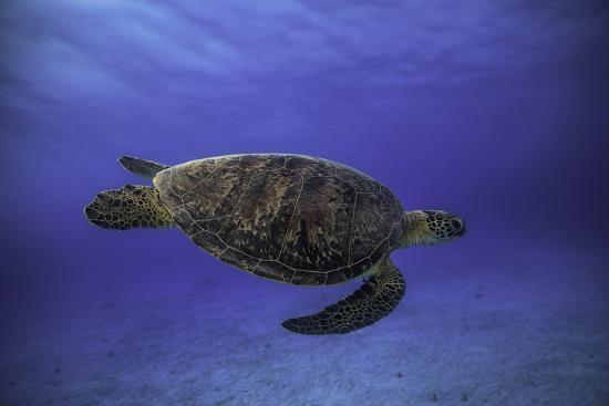 Green Turtle in the Blue-Barathieu Gabriel-Photographic Print