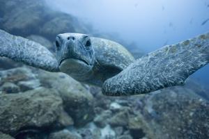 Green Turtle in the Galapagos Islands