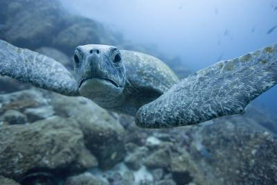 Green Turtle in the Galapagos Islands--Photographic Print
