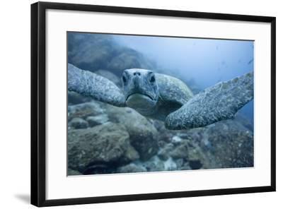 Green Turtle in the Galapagos Islands--Framed Photographic Print