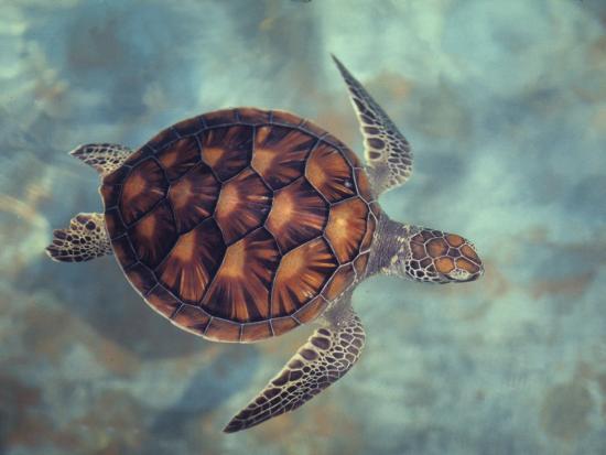Green Turtle, Java, Indian Ocean-Gerard Soury-Photographic Print