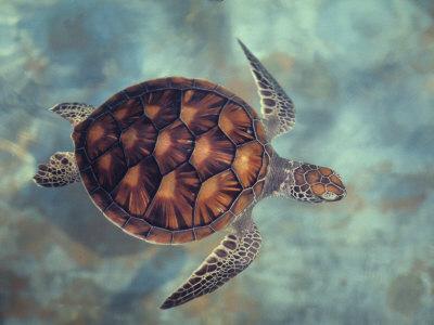 https://imgc.artprintimages.com/img/print/green-turtle-java-indian-ocean_u-l-q10rfth0.jpg?p=0