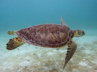 Green Turtle, Sian Ka'An Biosphere Reserve, Quintana Roo, Yucatan Peninsula, Mexico-Pete Oxford-Photographic Print
