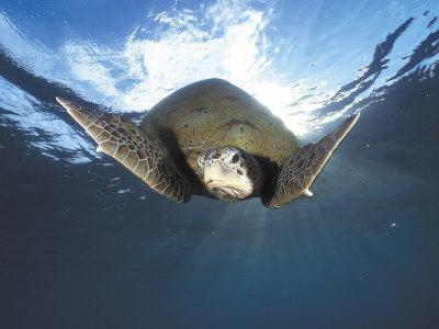 Green Turtle Swimming, Sulu-Sulawesi Seas, Indo Pacific Ocean-Jurgen Freund-Photographic Print