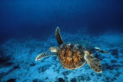 Green Turtle Swimming Underwater--Photographic Print