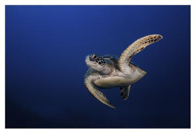 Green Turtle-Barathieu Gabriel-Giclee Print