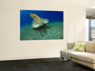 Green Turtle-Mark Webster-Wall Mural