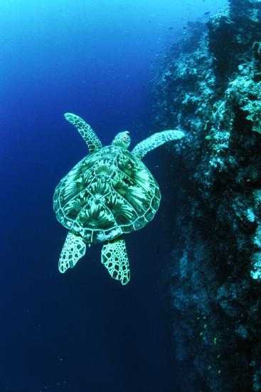 Green Turtle-Matthew Oldfield-Photographic Print