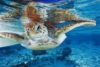 Green Turtle-Alexis Rosenfeld-Photographic Print