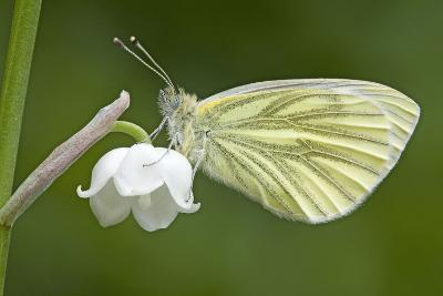 Green Veined White Butterfly--Photographic Print